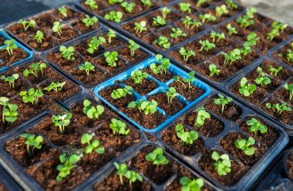 : Early stage growth of flower sprouts in pots